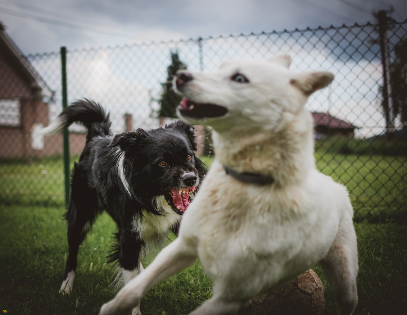 one angry dog fighting with another dog who is surprised by the aggression moving away in fear which represents hostility in a conflict resolution situation